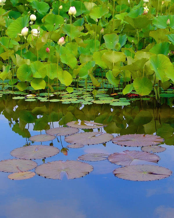 Water Lilies Art Print featuring the photograph Water Lily Sky by Nada Frazier