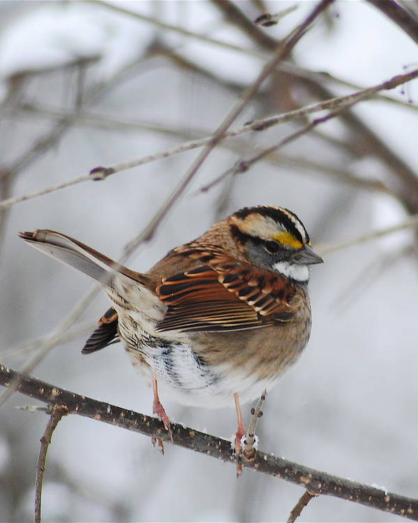 White-throated Sparrow Art Print featuring the photograph White Throated Sparrow 2 by Michael Peychich