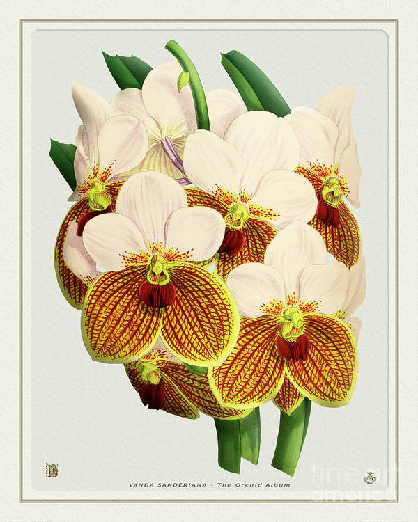 Vintage Art Print featuring the drawing Orchid Vintage Print On Tinted Paperboard by Baptiste Posters