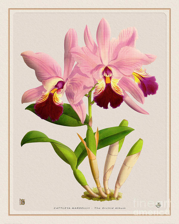 Colors Art Print featuring the digital art Orchid Vintage Print On Colored Paperboard by Baptiste Posters