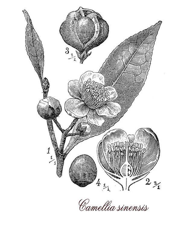 Camellia Sinensis Art Print featuring the digital art Camellia Sinensis, Botanical Vintage Engraving by Luisa Vallon Fumi