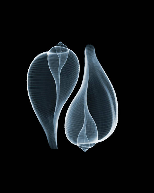 Animal Shell Art Print featuring the photograph Ficus Communis by Nick Veasey