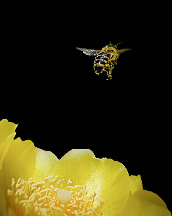 Bee Art Print featuring the photograph Bee Rising #2 by Len Romanick