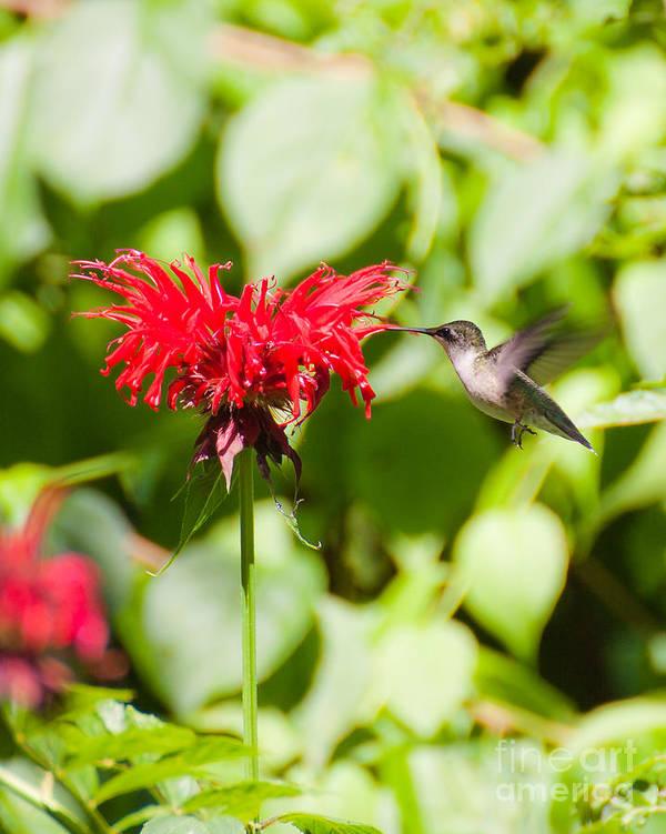 Nature Art Print featuring the photograph Hummingbird by Wayne Valler