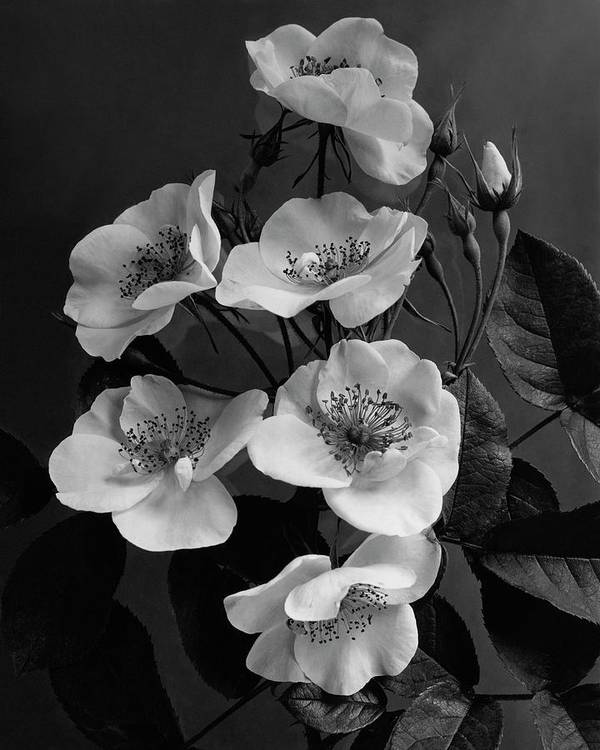 Flowers Art Print featuring the photograph Moschata Alba by J. Horace McFarland