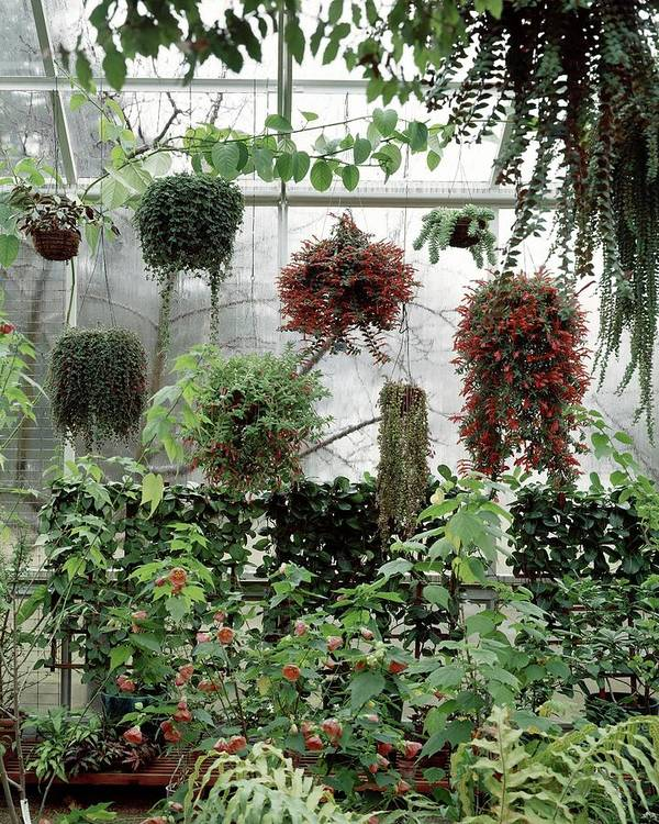 Indoors Art Print featuring the photograph Plants Hanging In A Greenhouse by Wiliam Grigsby