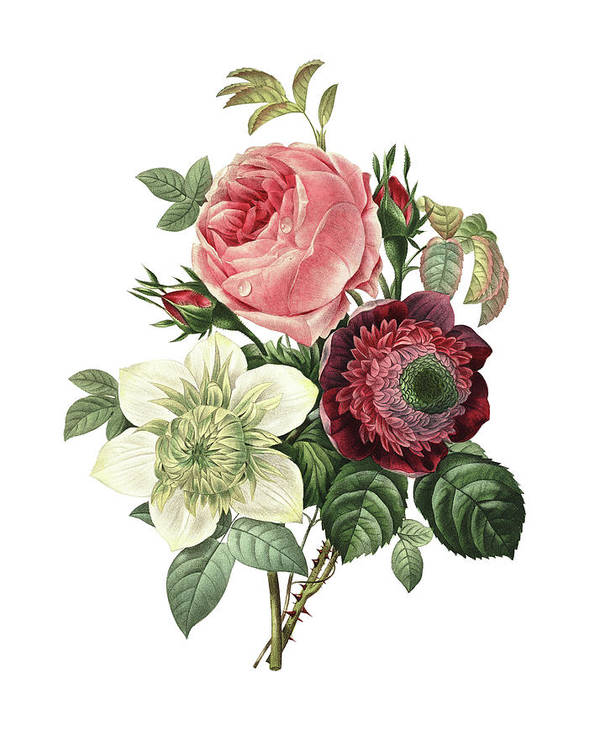 White Background Art Print featuring the digital art Rose, Anemone And Clematis   Redoute by Nicoolay