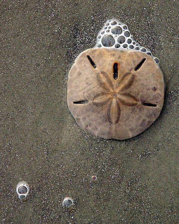 Sand Dollar Art Print featuring the photograph Sand Dollar by Tom Romeo