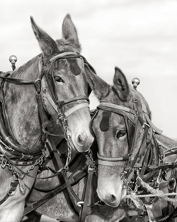 Mules Art Print featuring the photograph Two of a Kind by Ron McGinnis