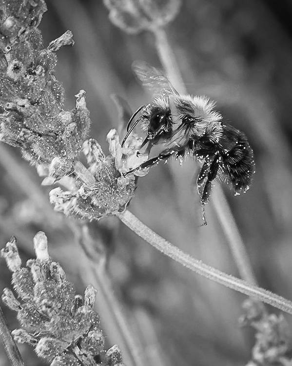 Bumblebee Art Print featuring the photograph Bee Works Lavender by Len Romanick