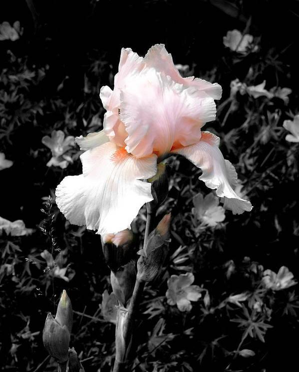Flower Art Print featuring the photograph Iris Emergance by Steve Karol