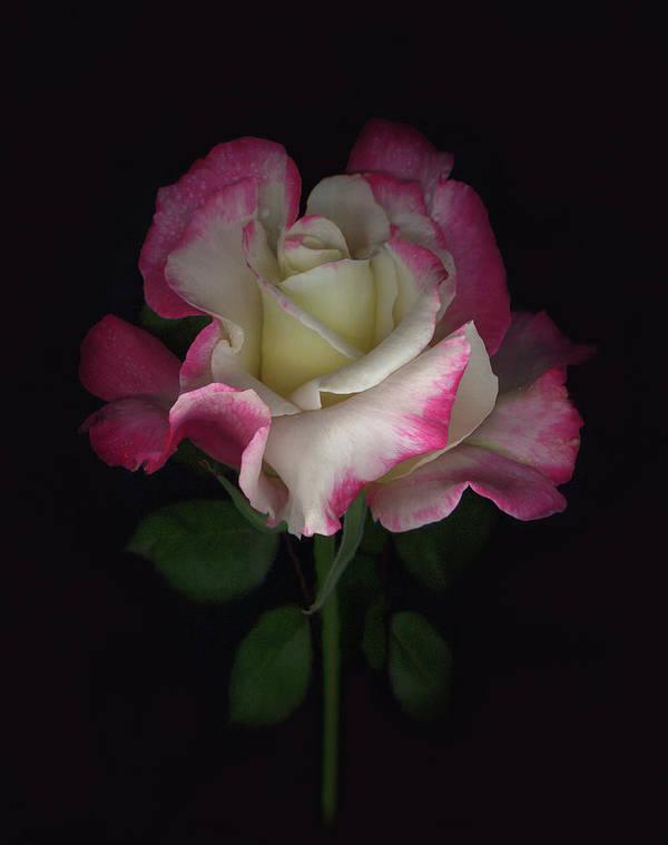 Rose Art Print featuring the digital art Niki's Rose by Sandi F Hutchins