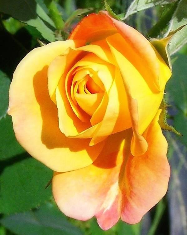 Rose Art Print featuring the photograph Sunburst Rose Bud by Dina Sierra
