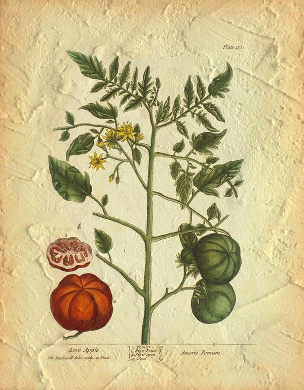 Tomato Art Print featuring the photograph Tomato Plant Vintage Botanical by Karla Beatty