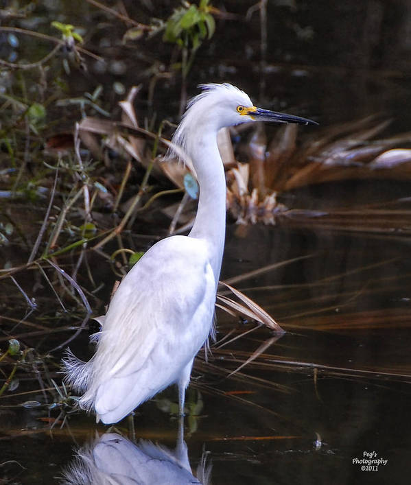 White Egret Art Print featuring the photograph White Egret In Florida Pond by Peg Runyan