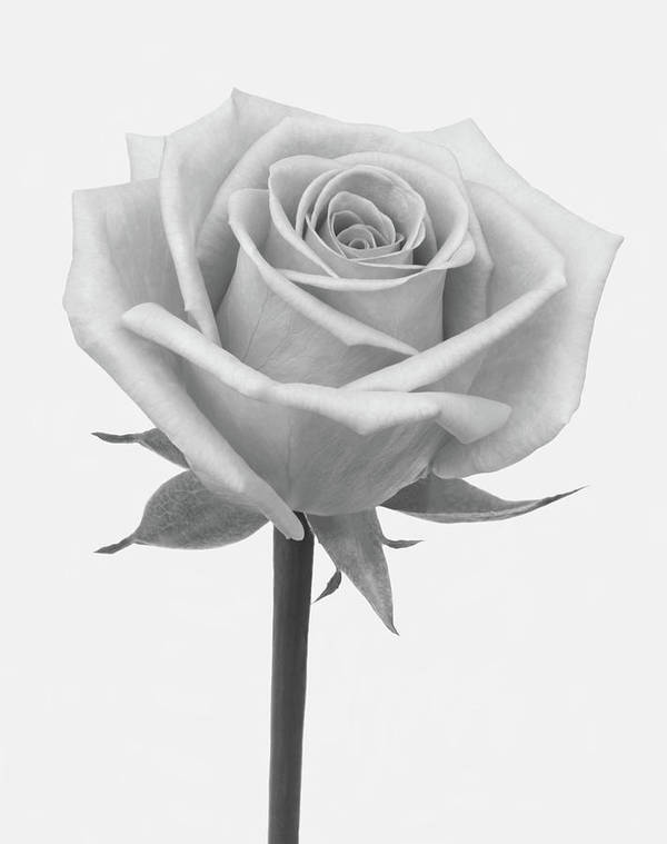 White Background Art Print featuring the photograph A Rose In Shades Of Grey by Rosemary Calvert