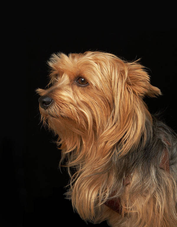Pets Art Print featuring the photograph Black And Brown Yorkie Left Profile On by M Photo