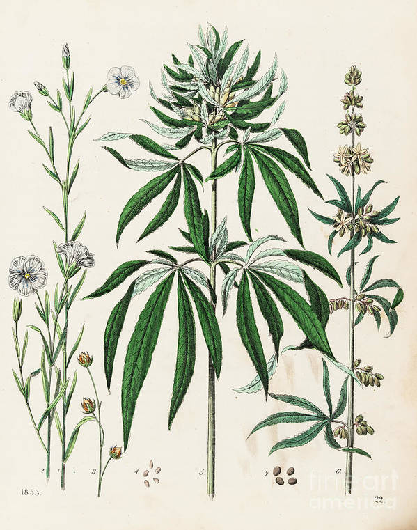 Engraving Art Print featuring the digital art Cannabis Plant Illustration 1853 by Thepalmer