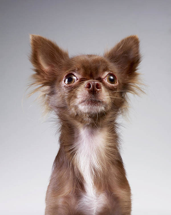 Pets Art Print featuring the photograph Chihuahua Looking Up by Stilllifephotographer