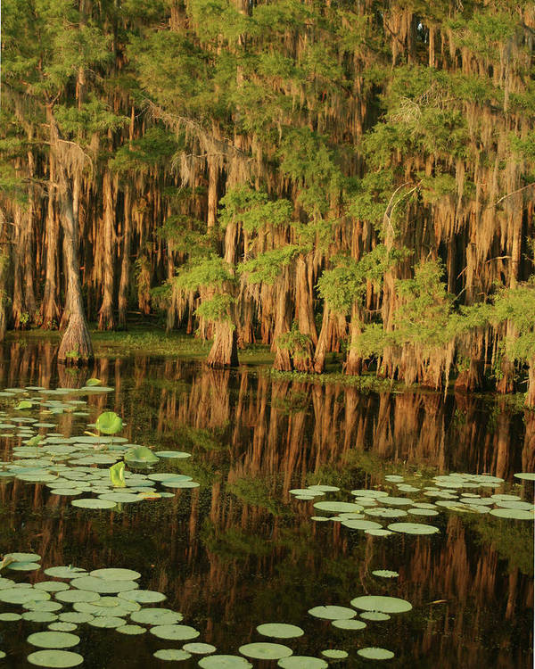 Outdoors Art Print featuring the photograph Cypress In The Lake by Jlfcapture