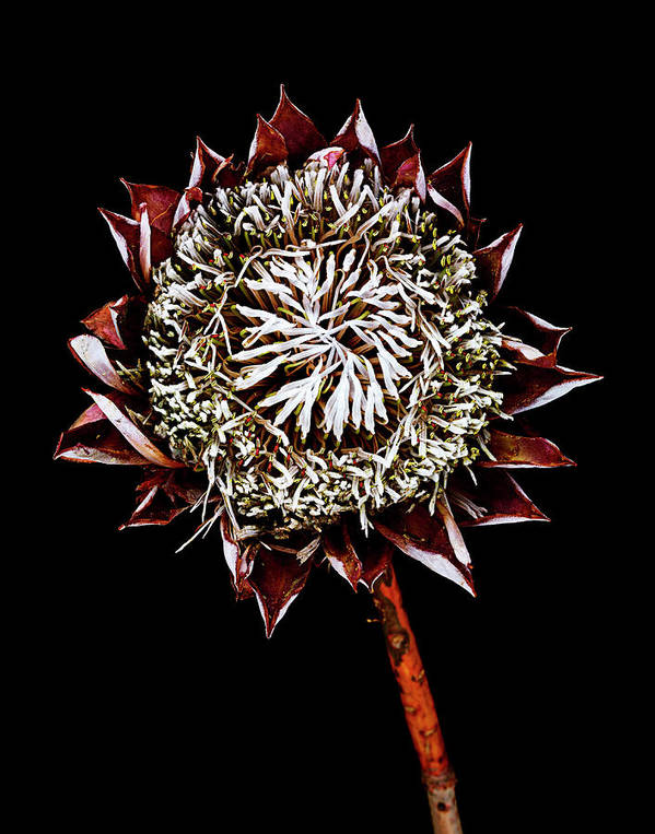 Black Background Art Print featuring the photograph King Protea Top by Chris Stein
