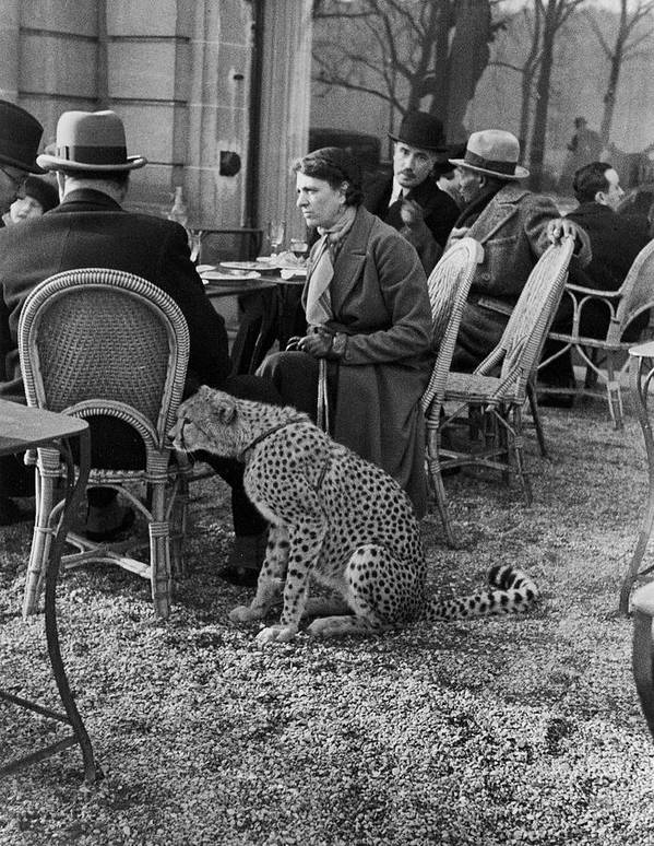 Pets Art Print featuring the photograph Pet Cheetah by Alfred Eisenstaedt