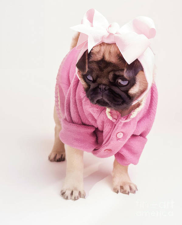 Pug Puppy Pink Bow Sweater Dog Doggie Puppies Dogs Art Print featuring the photograph Adorable Pug Puppy In Pink Bow And Sweater by Edward Fielding