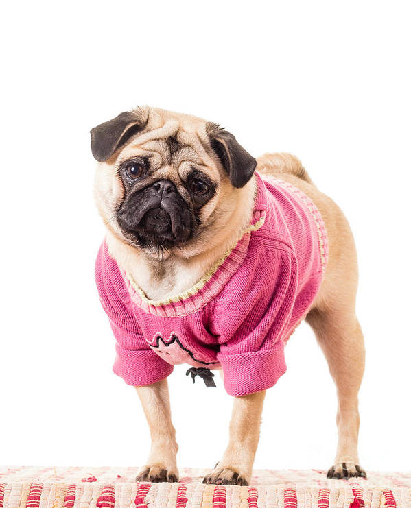 Dressed Art Print featuring the photograph Cute Pug Wearing Sweater by Edward Fielding
