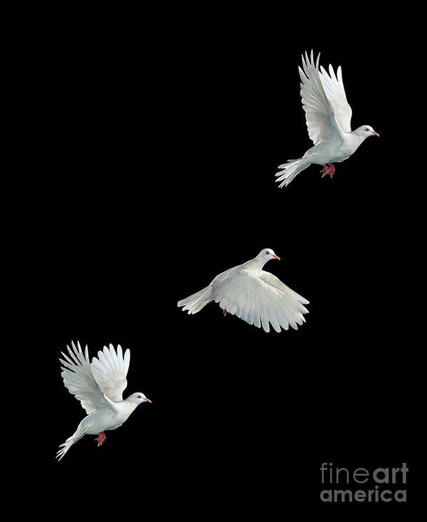Java Dove Art Print featuring the photograph Java Dove In Flight by Stephen Dalton
