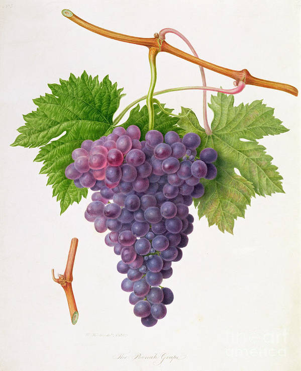 Bunch Of Grapes; Fruit; Branch; Black; Leaves; Botanical Illustration Art Print featuring the painting The Poonah Grape by William Hooker