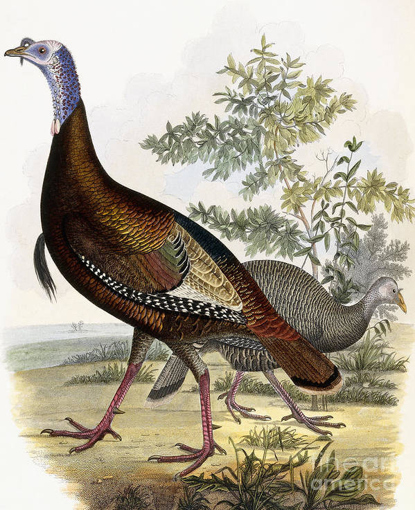 Turkey Art Print featuring the painting Wild Turkey by Titian Ramsey Peale