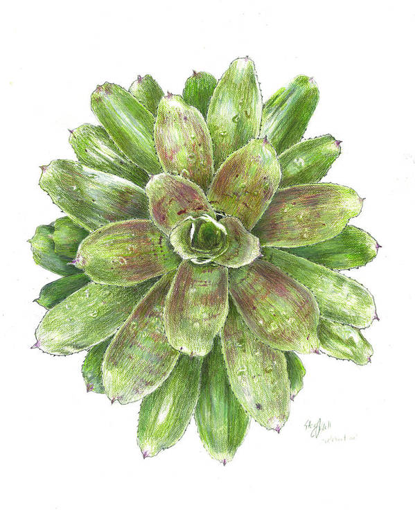 Neoregelia Art Print featuring the drawing Celebration by Steve Asbell