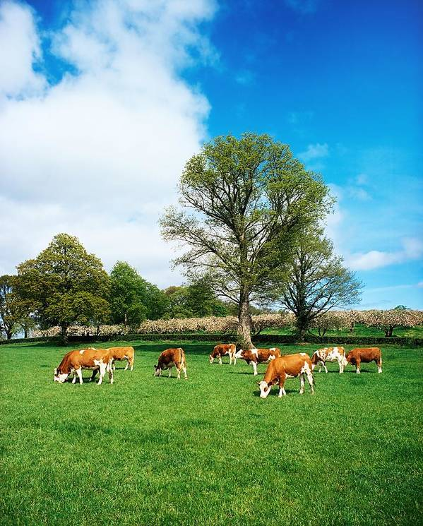 Bullock Art Print featuring the photograph Hereford Bullocks by The Irish Image Collection