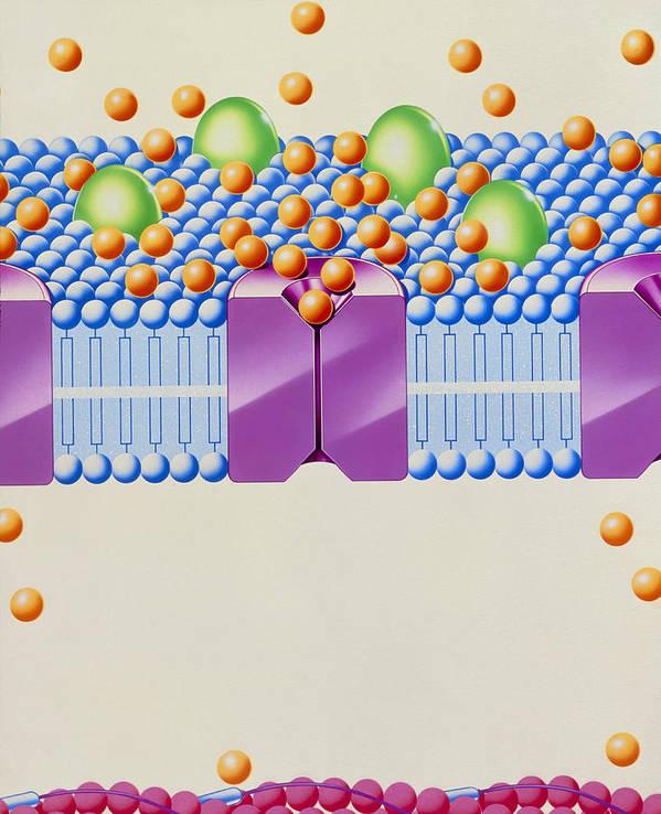 Calcium Antagonist Art Print featuring the photograph Angina Treatment: Calcium Antagonist Mechanism by John Bavosi