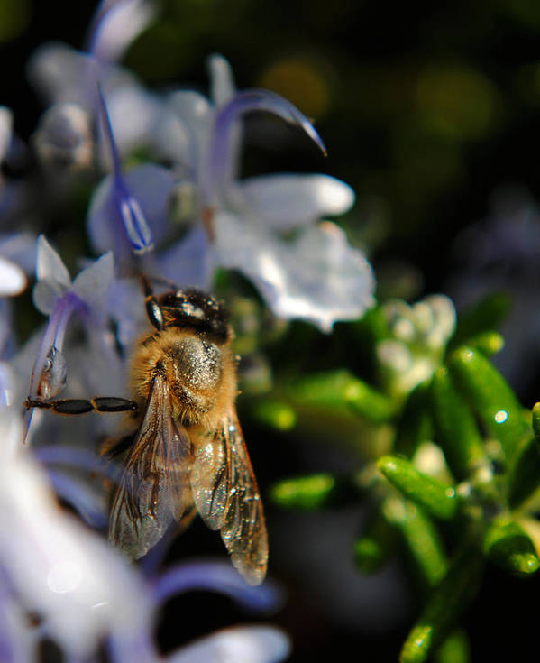 Bee Art Print featuring the photograph Feeding Bee by Philip Osterkamp