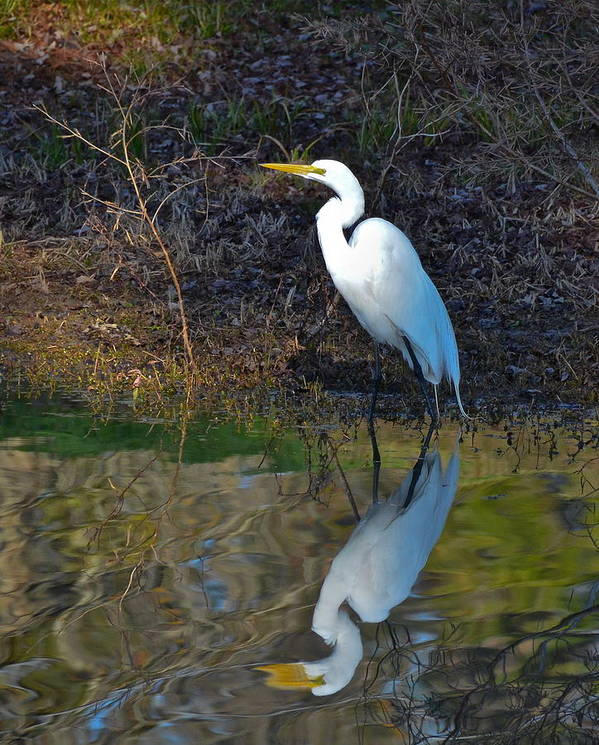 Egret Art Print featuring the photograph Reflection by Bill Martin