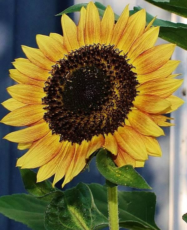 Flora Art Print featuring the photograph Sunflower by Bruce Bley