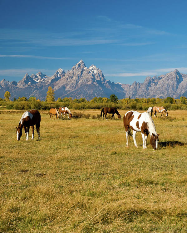 Grand Teton Art Print featuring the photograph Teton Horses by Steve Stuller
