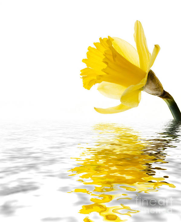 Background Print featuring the photograph Daffodil Reflected by Jane Rix