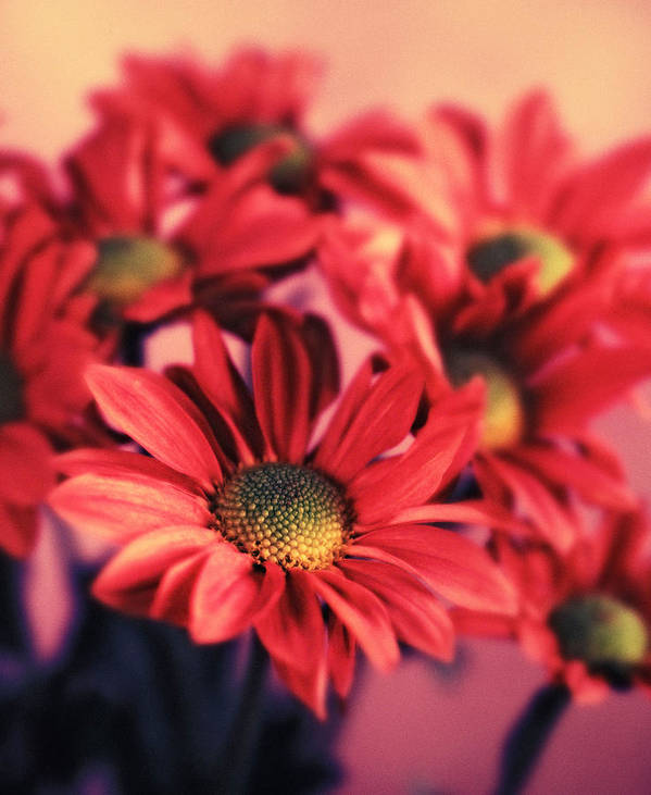 Flora Art Print featuring the photograph Daisy 3 by Joseph Gerges