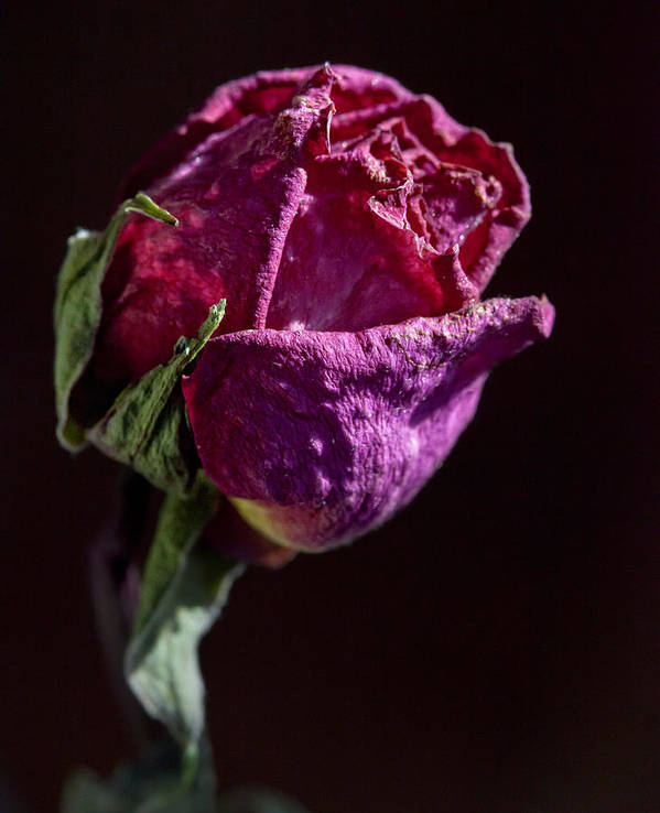 Rose Art Print featuring the photograph Dried Rose Late In The Afternoon by Robert Ullmann