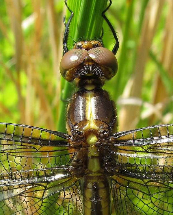 Dragonfly Art Print featuring the photograph Fun In The Sun by Ginger Adams