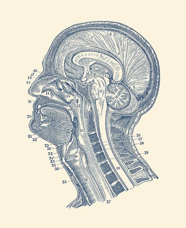 Human Brain Structures Vintage Anatomy Print Art Print By Vintage