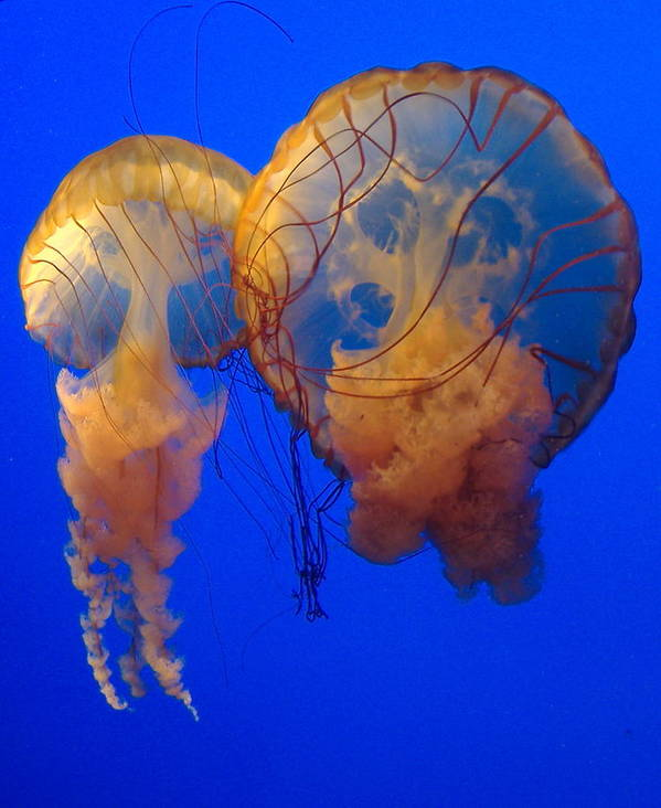 Jellyfish Art Print featuring the photograph Jellyfish by Utopia Concepts