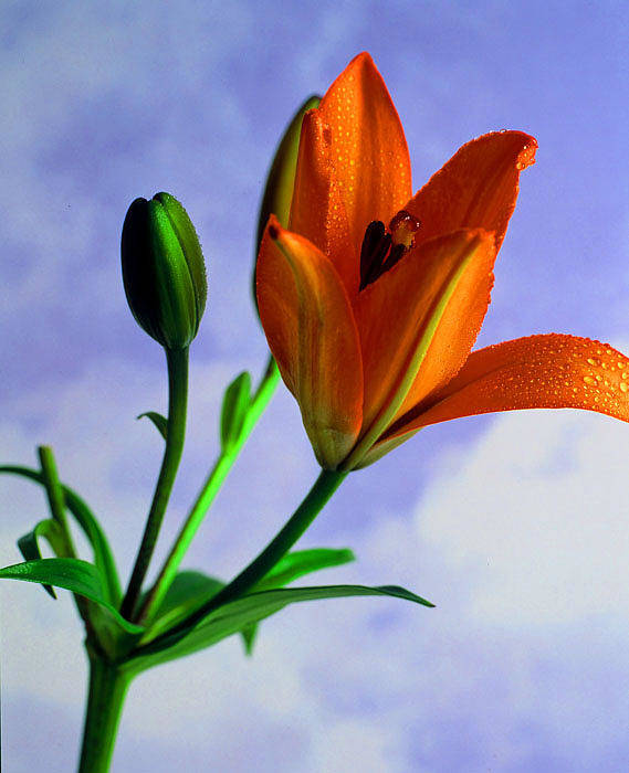 Flower Art Print featuring the photograph Morning Bloom by Dennis Hammer