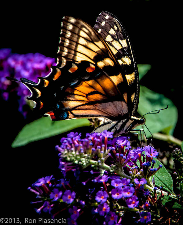 Butterfly Art Print featuring the photograph Swallowtail Feasting by Ron Plasencia