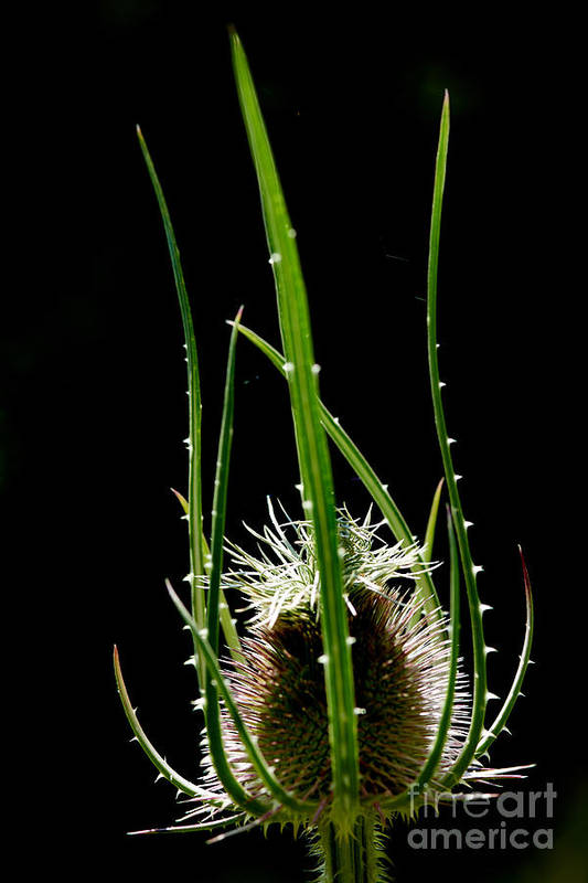 Barb Art Print featuring the photograph Detail Of Thistle by Josep Maria Penalver