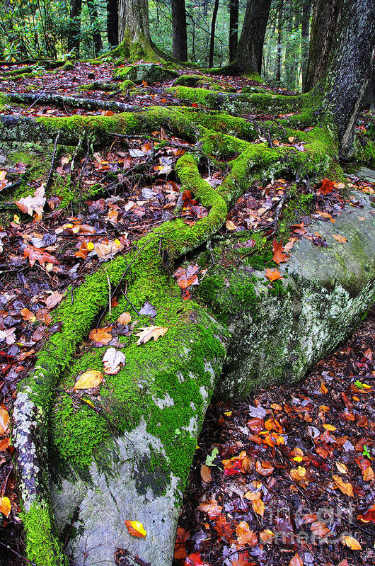 Tree Roots Print featuring the photograph Moss Roots Rock And Fallen Leaves by Thomas R Fletcher