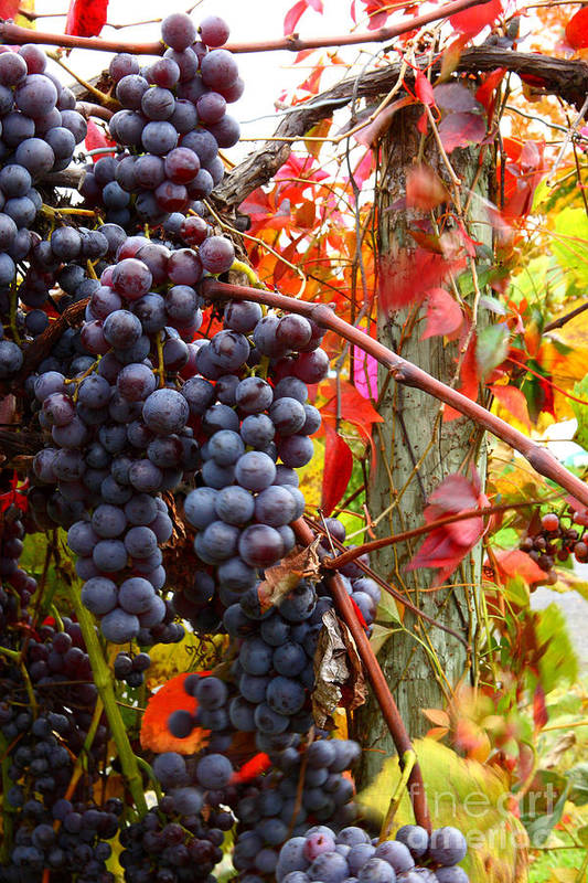 Grapes Art Print featuring the photograph Vines Of October by Roger Bailey