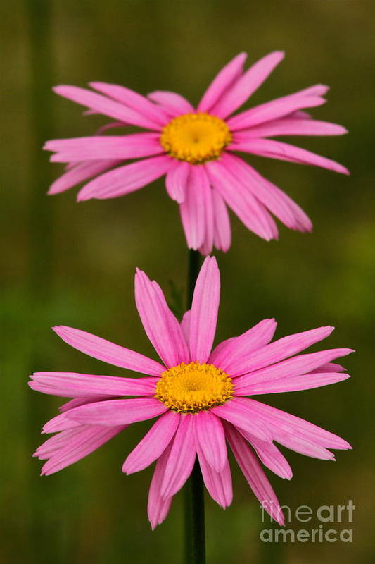 Flower Art Print featuring the photograph Pink Pair by Rick Monyahan